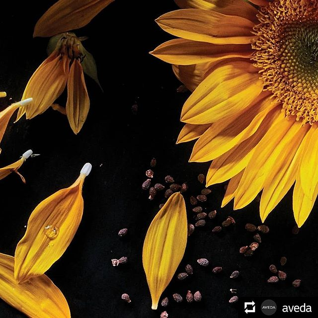It's always sunflower season at Aveda! We use sunflower oil in Hand Relief for its rich conditioning benefits. It works with andiroba oil and other ingredients to give you lasting softness. Use it perennially — or maybe a lot more often than that. #knowwhatweremadeof_______________________________#instahair #instabeauty #atthesalon #salonlife #hair #hairspiration #hairsalon #haircolor #hairstyles #hairstyling #haircut #carlsbad #sandiego #sandiegohair #carlsbadhair #aveda #avedacolor #avedaproducts #avedaartist #smellslikeaveda #crueltyfree #botanicals